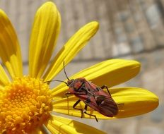 red bug on the yellow flower