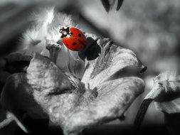 bright ladybug in black and white background