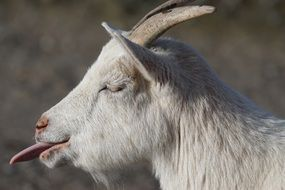 goat showing its tongue