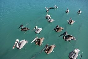 top view of swimming pelicans in the wild
