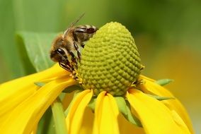Closeup photo of Bee on a yellow flower