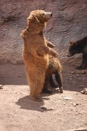 brown bear standing on the hind legs