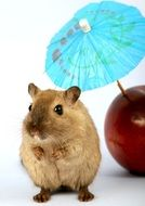 sweet hamster and red apple with cocktail umbrella