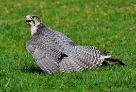 grey falcon in the wildpark poing