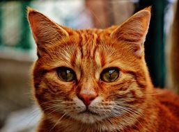 amazing red cat portrait