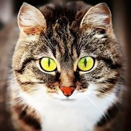domestic cat with yellow eyes