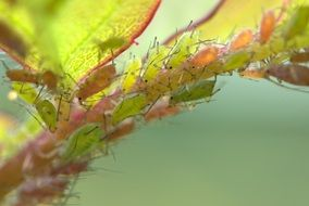 Large Rose Aphids on plant, macro
