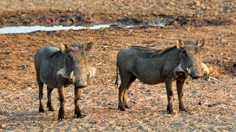 warthogs in the national park in namibia