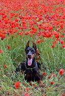 doberman dog on the background of the field with poppies