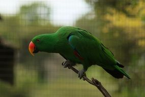 green Parrot with red beak in cage