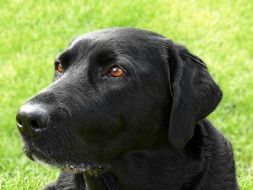 portrait of a black labrador outdoor