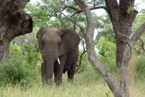 Picture of Elephant in Kruger Park