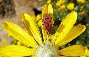 red Bug on yellow petals