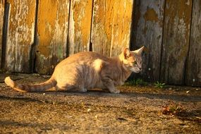 domestic cat sitting outdoor