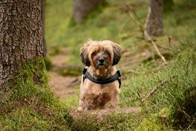 tibetan terrier Dog forest portrait