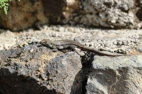 small grey Lizard on rock