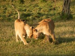Lionesses in Kenya