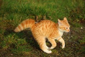 frolicking red tabby kitten