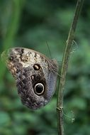 butterfly with eyespots in the wild forest