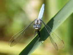 filigree blue dragonfly on the blade of grass