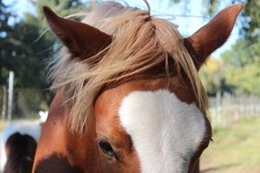 horse forelock