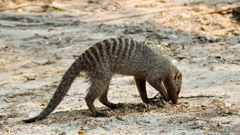 foraging banded mongoose