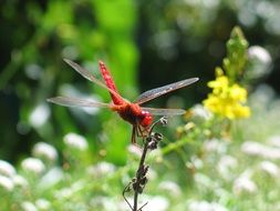 big red dragonfly on a branch