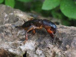 mole cricket in wildlife