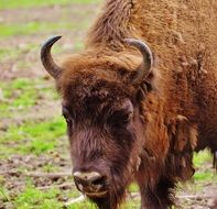 large bison in the wild park poing
