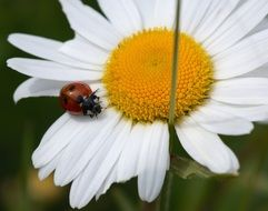ladybug on white daisy close up