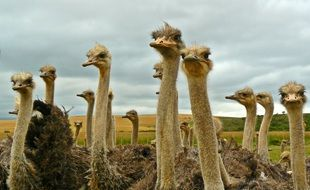 herd of cute ostriches on the field with beautiful nature