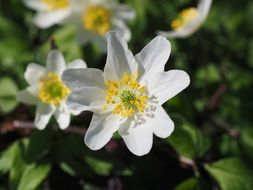 wood anemone blossoms