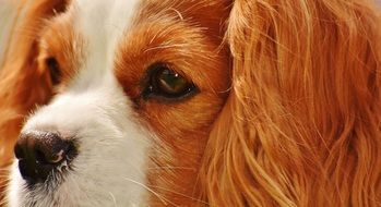 portrait of a sweet cavalier King charles spaniel