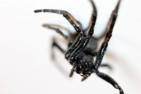 black spider on a white surface