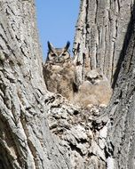 pleasing Great Horned Owl