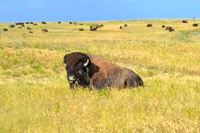 bison resting on the meadow