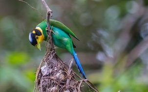 bright broadbill close up