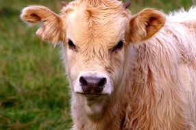 cute red young calf