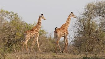 walking giraffes in the Hluhluwe–Imfolozi park