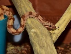 Snake Boa Constrictor Imperator on wooden log