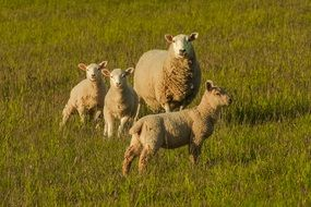 sheep with cubs in a meadow