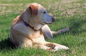 charming Yellow Labrador dog
