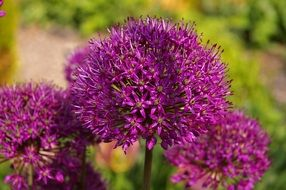 purple ornamental onion blossoms