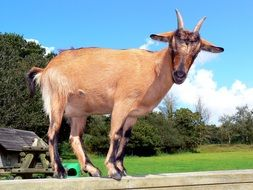 brown goat on a farm