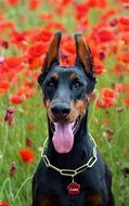 pretty Doberman Dog