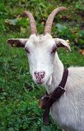 picture of the white goat