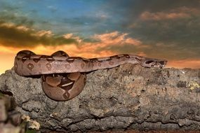 boa on a rock on the sunset background