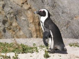 penguin in a zoo in South Africa