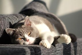 lazy grey white domestic cat