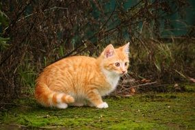 frightened red tabby cat